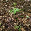 高ボッチ高原・鉢伏山で最近咲いている花 クルマバツクバネソウ(車葉衝羽根草)