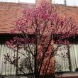 議会の中庭 梅が来ました。