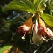 高ボッチ高原・鉢伏山で最近咲いている花 ニシキウツギ(二色空木)