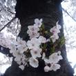 2017 桜 - 倒木の敗者復活戦?
