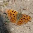 春分~舞い始めた蝶たち
