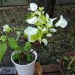 ブーゲンベリア:白花
