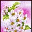 色鉛筆画423 (林檎の花)