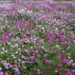 【コスモス畑】トヨタ東富士研究所の通り沿い...咲き乱れています