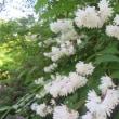 イワタバコ、咲き始める 長谷寺