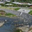 戸口川でクロサギと共に:コウノトリJ0067の観察と滞在記録更新