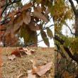 クヌギの大木