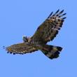 2017.09.22(金)の日誌(秋の鷹渡り#17-05-02:アカハラダカ&ハチクマの飛翔)