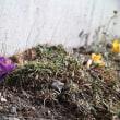 春の花・家の庭