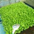 大根播種と白菜定植