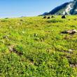コバイケイソウとチングルマの綿毛の群生