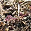 立春にサクラソウの芽生えが見られなかったのは3年ぶりです
