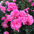 鮮やかな薔薇でオヤスミ