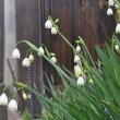 桜の便りを聞いて・・我が家の庭では!!
