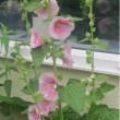 懐かしい葵の花、