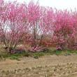 桃の花咲く里