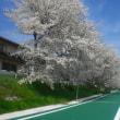 桜満開 春4月