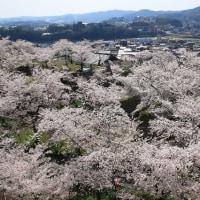 鶴山公園の桜