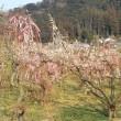 梅でいっぱい