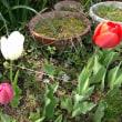 チューリップが咲いてる