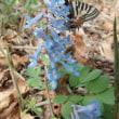 早春、ヒメギフチョウの胎動とエーデルワイスの芽吹き。