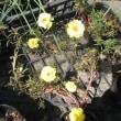 又咲く ガザニアとマツバボタン