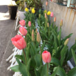Beautiful Red Tulip/春の記憶/ Spring has come./