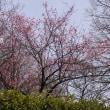 紫金山公園の梅の花。