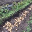 ジャガイモ(キタアカリ)を収穫したYO(^^♪