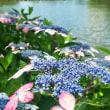 紫陽花の季節(その2)善福寺公園上池。