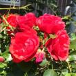 薔薇咲いて我が身ひとつになる覚悟