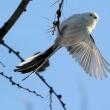 今日の鳥 シマエナガ 久し振りにいつもの公園にシマエナガに会えました。