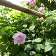 '18バラ前線 蔵王はバラの最盛期:蔵王酪農センター①オールドローズ