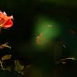 薔薇 (花 4708)