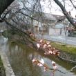 玉串川の桜並木、目立ちたがり屋さんちらほら