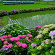 紫陽花と列車