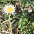 さいたま市桜区にある桜草公園の奧では、コブシの白い花が咲き始めました