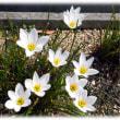 初秋の花(^^♪白い花に、黄色がちょこっと付いて清楚で可憐な花「タマスダレ(玉簾)」