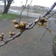 2018 私的桜開花標準木 その20