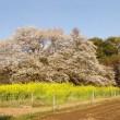 国立能楽堂・・・能「西行桜」狂言「鳴子遣子」ほか