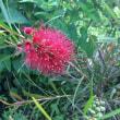 種から育てたブラシの木(カリステモン)花が初めて咲いた