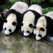 パンダ「淘淘」が野生化トレーニングを終了 野外へ
