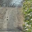 エゾライチョウ…支雪理の林道にいた