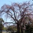 山下公園のしだれ桜 ( 神奈川県横浜市中区 2018.3.17 )