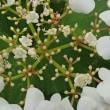 [#3787] カンボク(4)飾り花内部(小花)