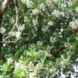 サンゴジュ(レンプクソウ科・ガマズミ属)常緑高木