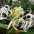季節の花「浜木綿 (はまゆう)」