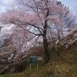 当館から徒歩で約5分『実美桜』が満開です