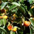 シロハラ 柿の木に