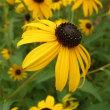 幸せの黄色い花 Ⅱ